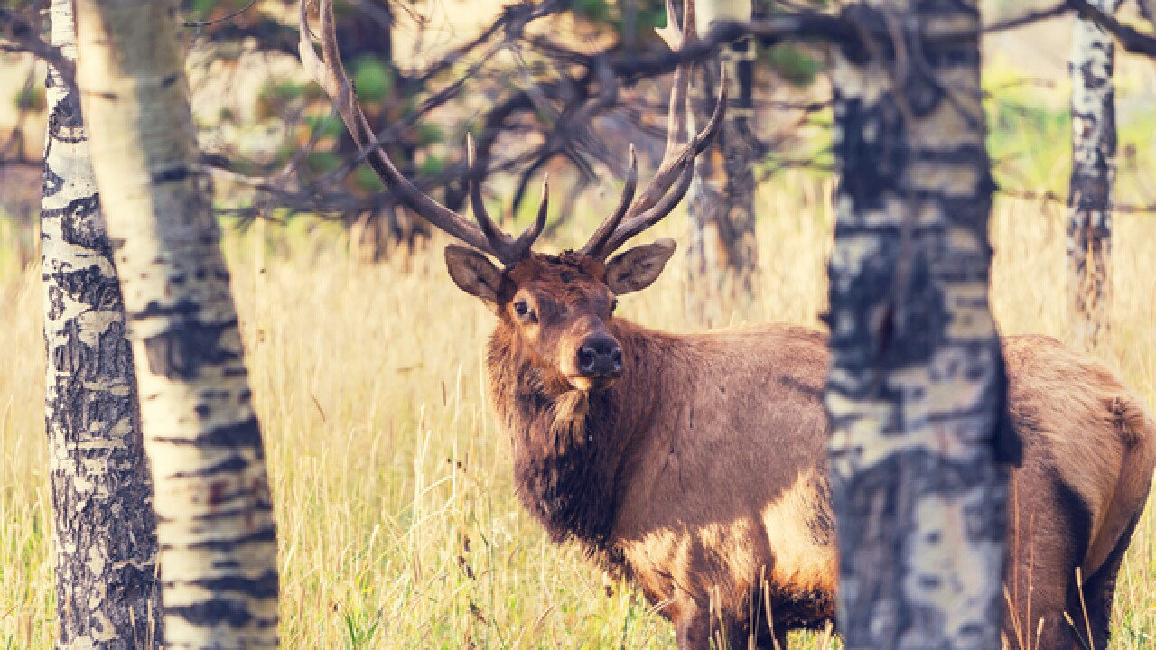 Wisconsin DNR calls first round of elk hunt success despite illegal harvesting