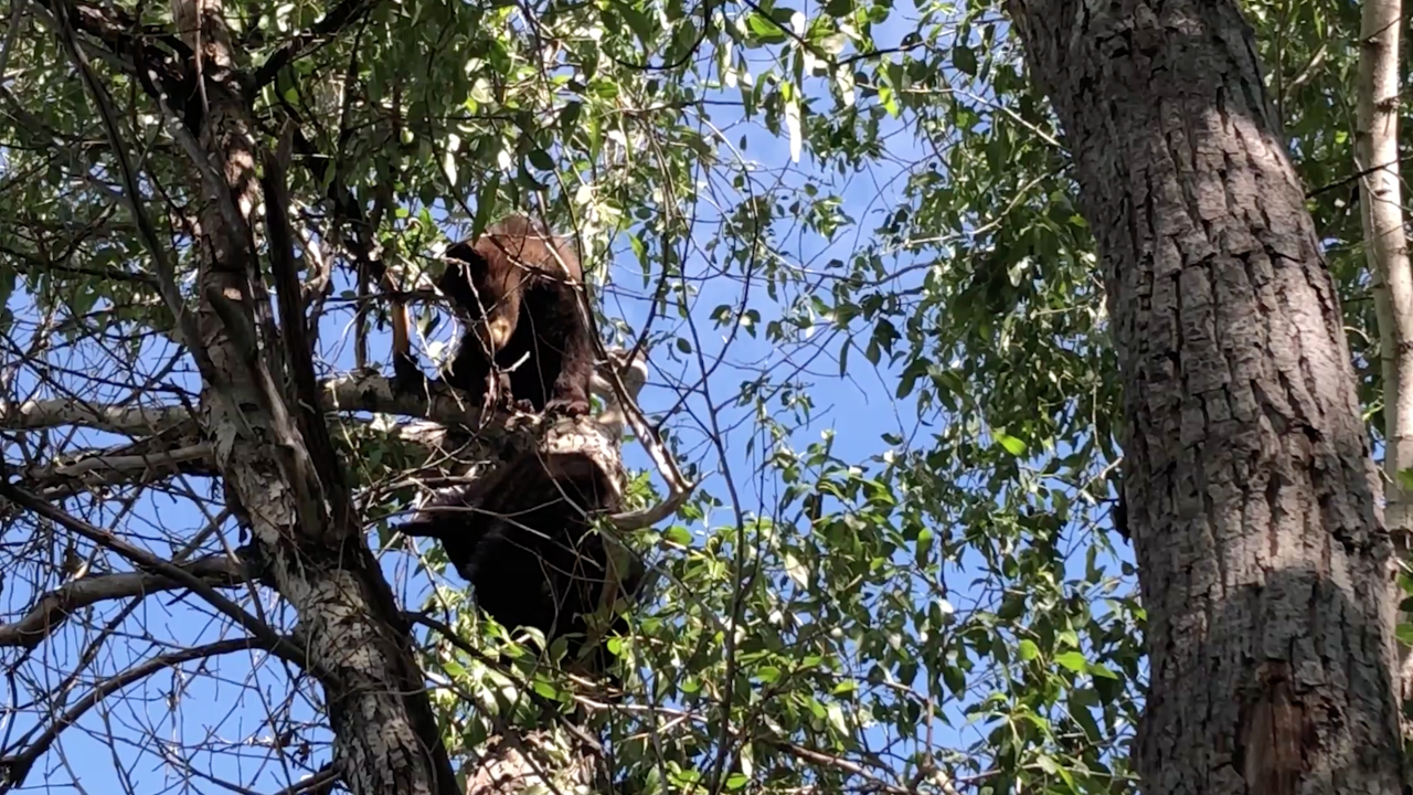 cubs in tree
