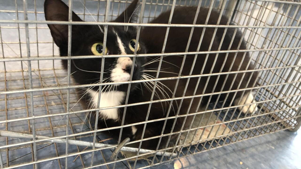 animal shelter cat.jpg