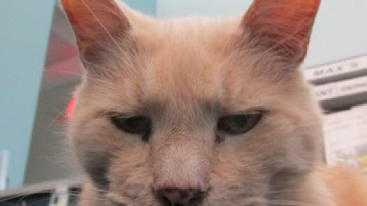 Shelbyville shelter cat becomes local celebrity