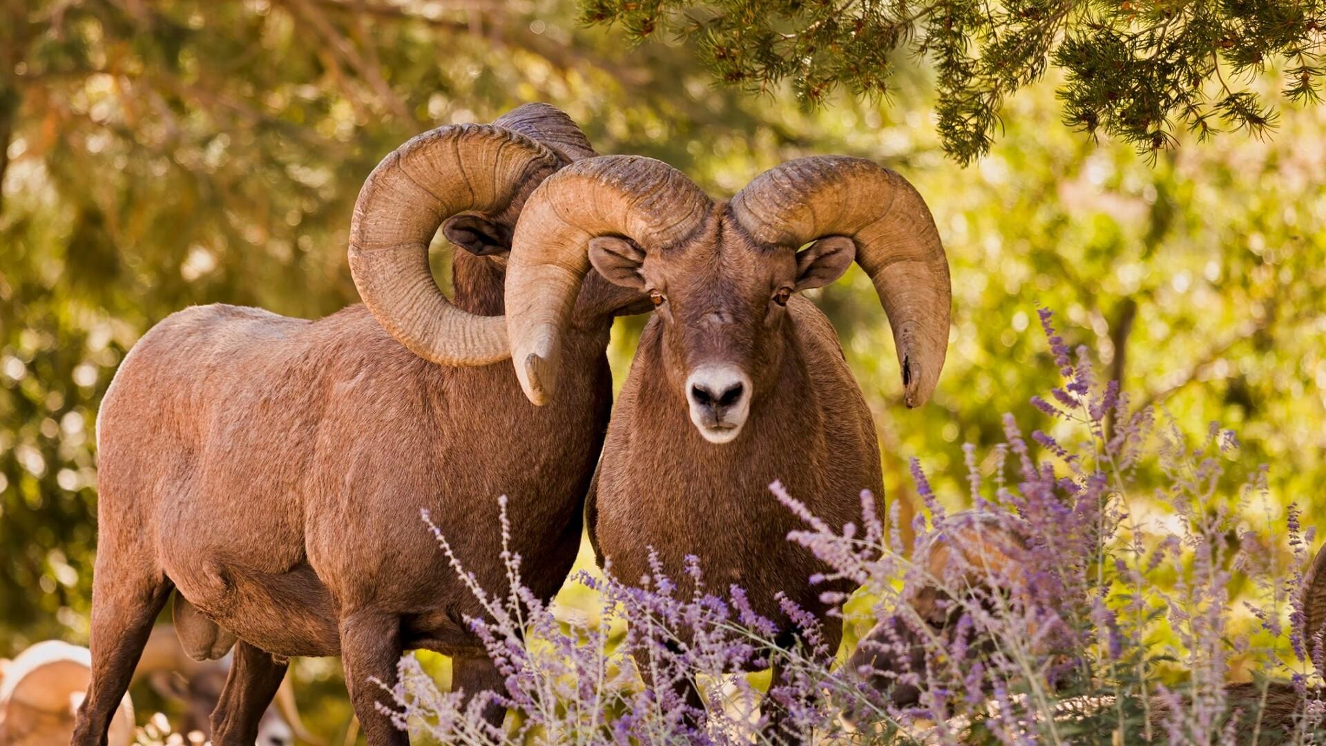 Bighorn Rams Larry Marr.jpg