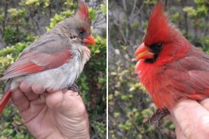 This northern cardinal was caught and banded by members of the Inland Bird Banding Association in central Texas.