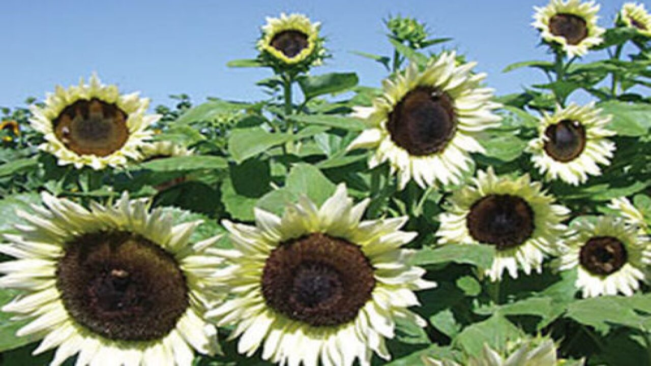 'Coconut Ice' Sunflowers Make Such A Pretty Addition To Your Garden