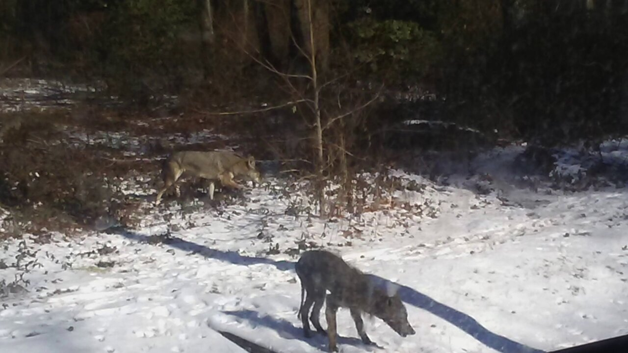 Multiple coyote sightings reported in Lakeside area