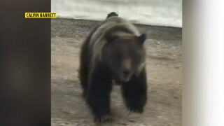 Mother grizzly bear charges at passing car (video)