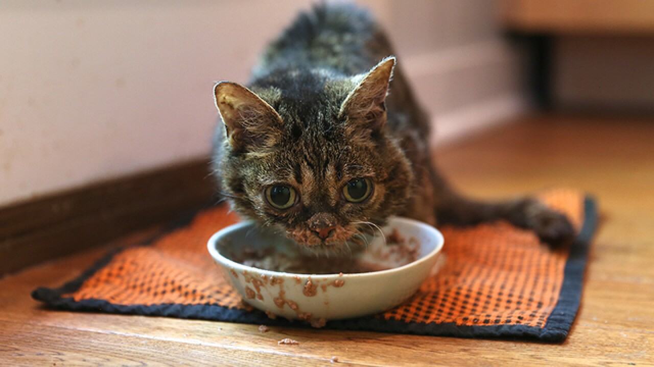 How to meet Internet cat star Lil BUB