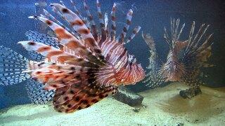 wptv-lionfish.jpg