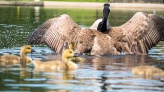 Ducks at Wade Oval Lagoon
