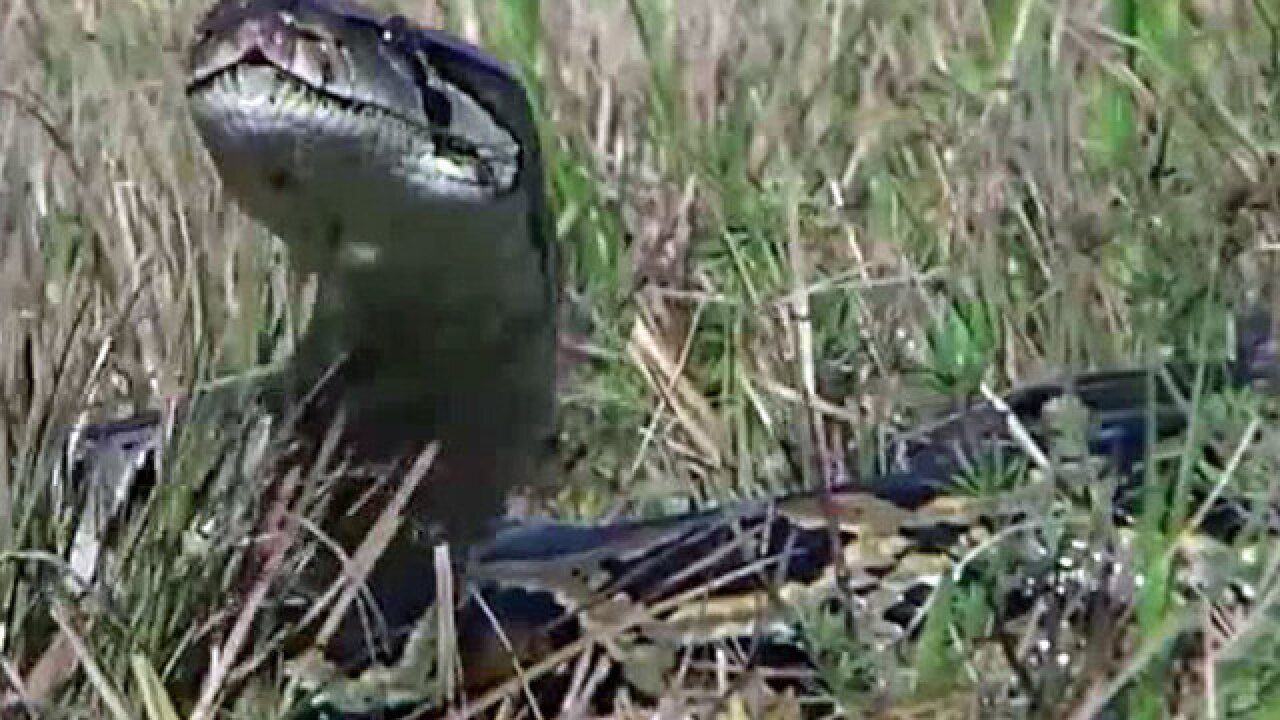 On the hunt for pythons in the Everglades