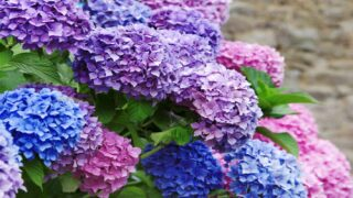 How To Multiply Your Hydrangeas Without Spending A Dime