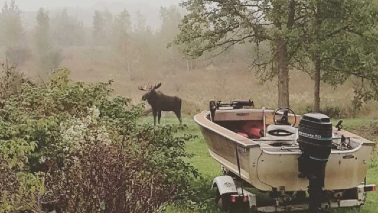 Moose spotted in Wisconsin woman's backyard