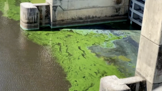 Blue-green algae can usually be found anywhere bodies of fresh water meet pollution from agricultural and development runoff. When coupled with summer's high temperatures, blue-green algae can rapidly grow.
