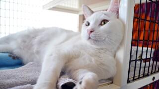 HWAC cat - Butch-2 (2).jpg