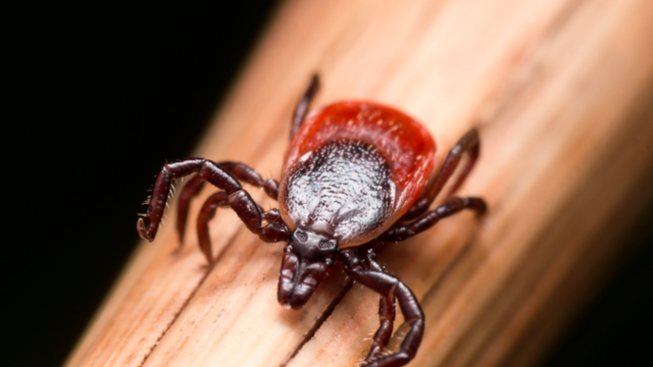 This new invasive tick just arrived in the U.S. from Asia; it kills 15 percent of its victims