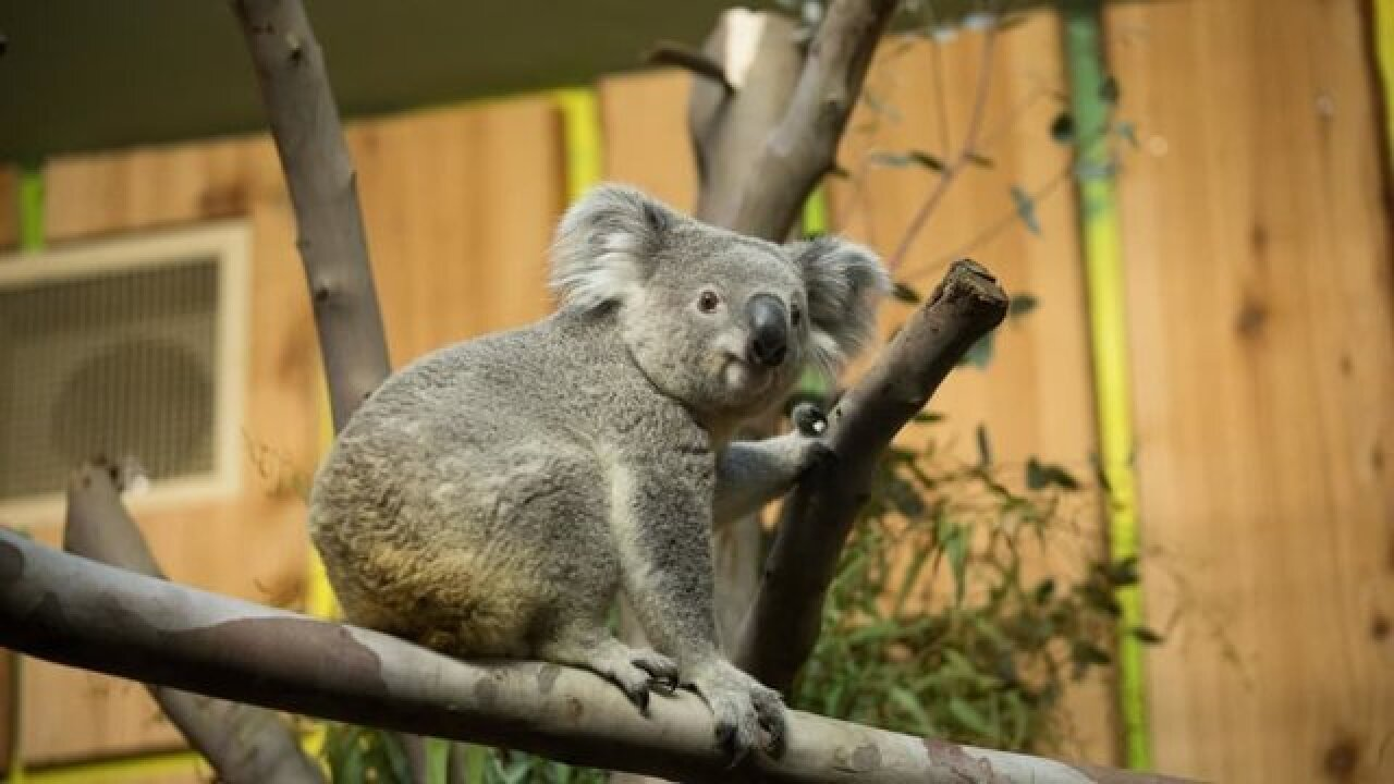 Koala has its own seat on an airplane