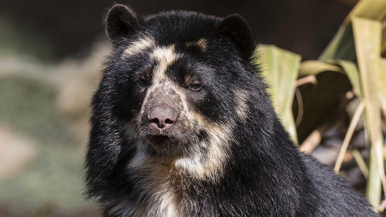 Female Andean Bear, Alba, at San Diego Zoo