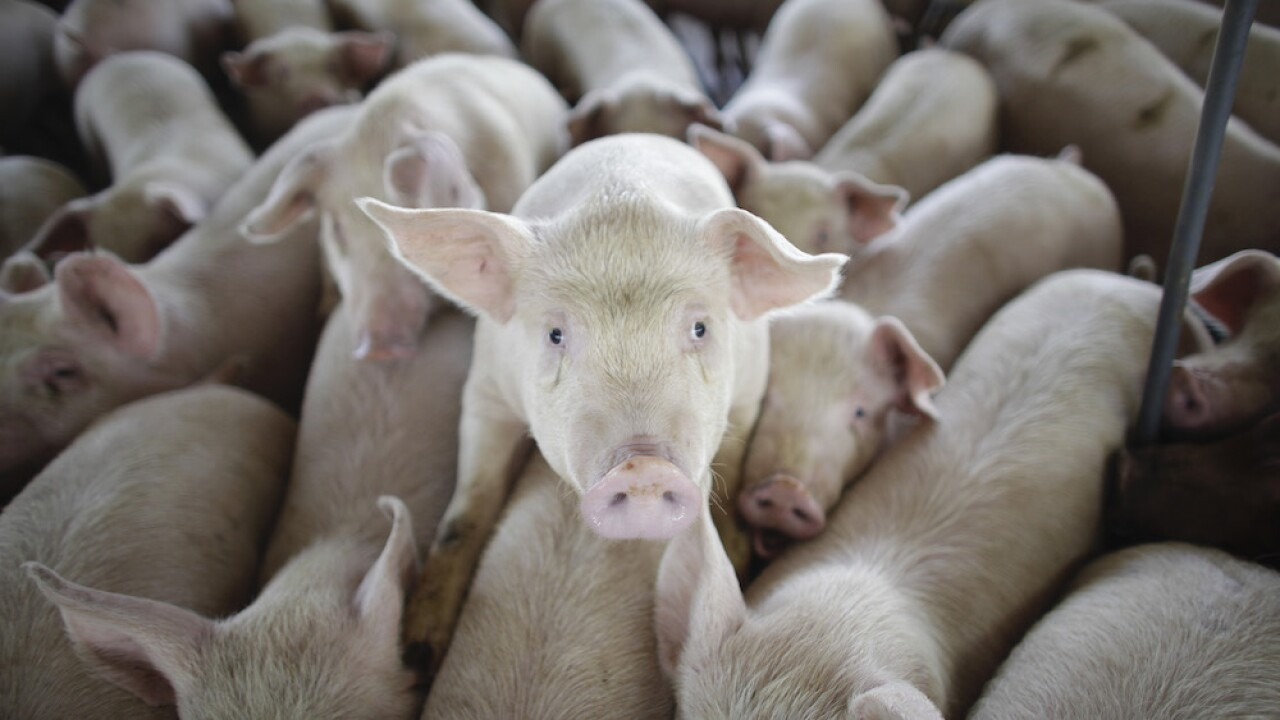 With meat production slowed due to COVID-19, thousands of viable pigs are being euthanized