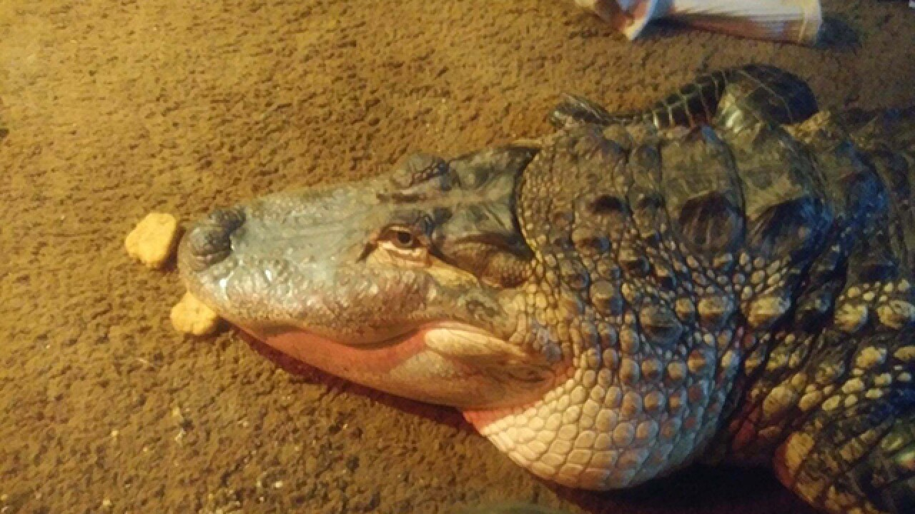 6-foot gator, pythons removed from Mo. home