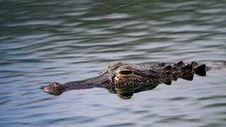 An alligator as seen on the course during the second round of the Honda Classic at PGA National Resort and Spa on March 01, 2019 in Palm Beach Gardens, Florida. (Photo by Sam Greenwood/Getty Images)