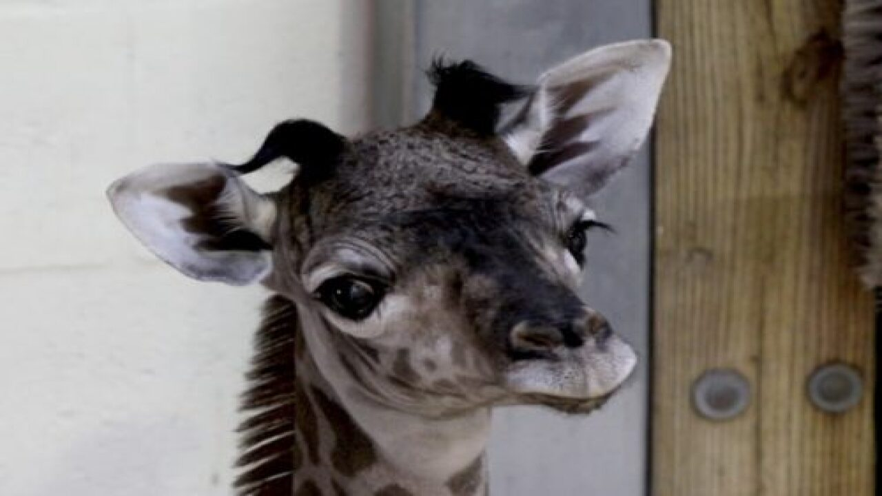 A Baby Giraffe Was Born At Disney's Animal Kingdom