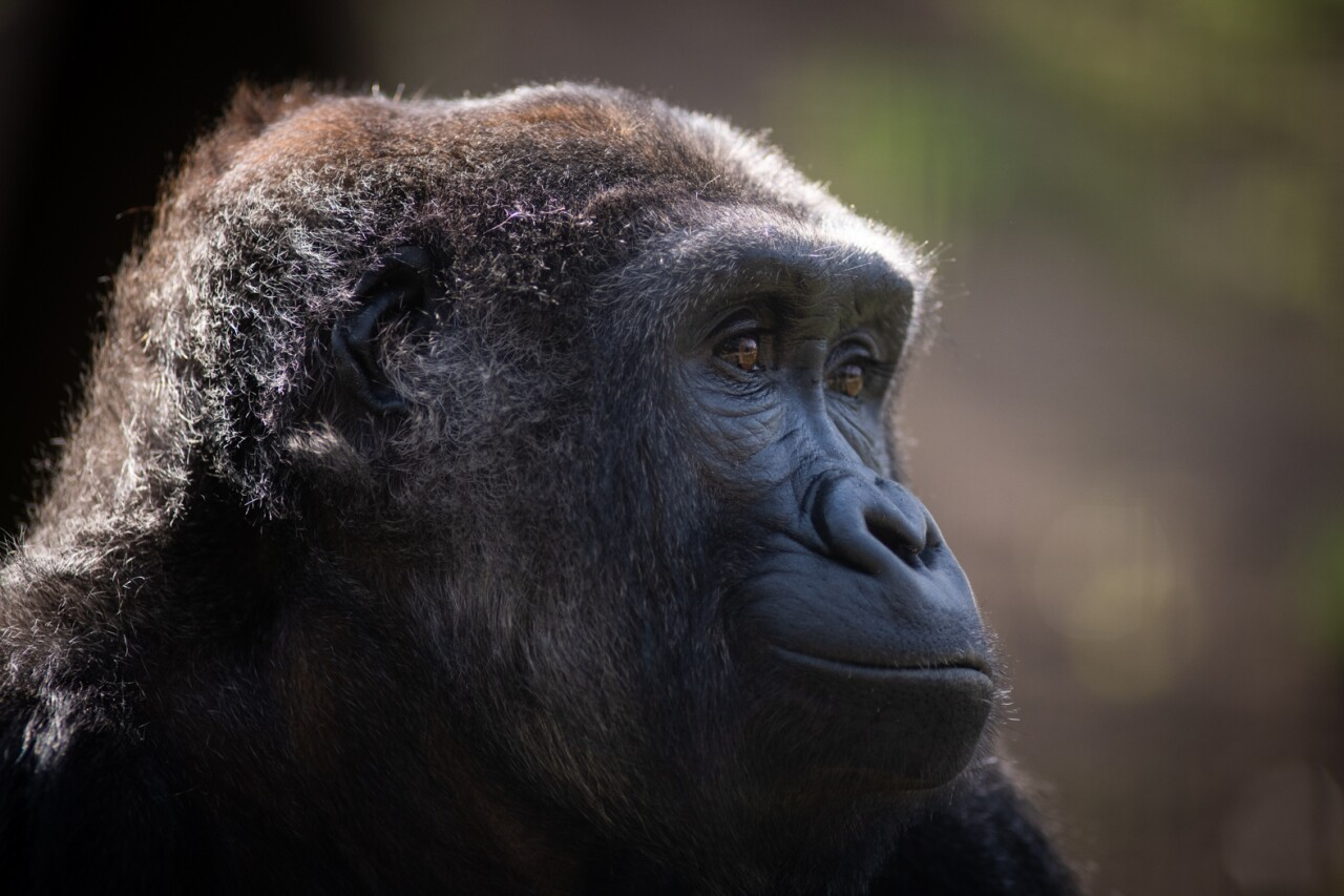 Gorilla (Nadami)