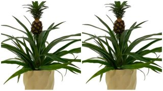 You can get a pineapple plant from Home Depot and they'll deliver it to your door