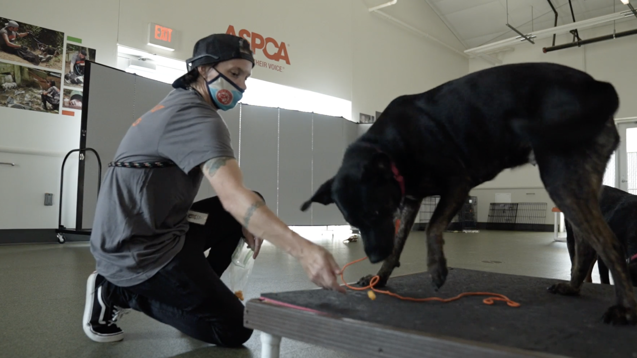 Over an average of 13 weeks, the dogs are slowly socialized -- with people and other dogs -- and taught basic skills, in preparation for their eventual adoption. So far, 500 dogs have graduated from the program.