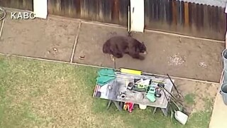A massive black bear was spotted wandering a neighborhood Friday morning in Southern California.