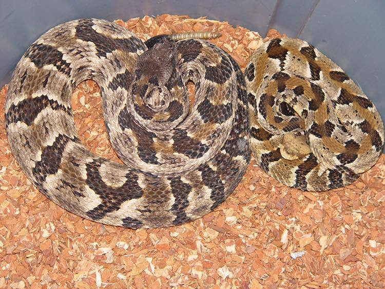 Timber Rattle Snake 2.jpg