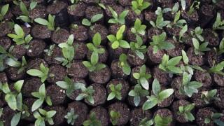 Picture of dozens of little tree seedlings