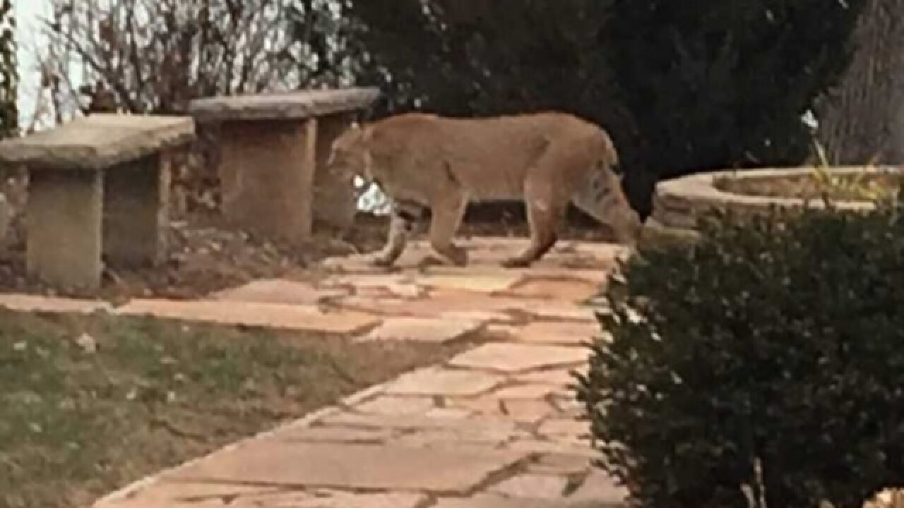 Bobcat sightings reported in Whitefish Bay