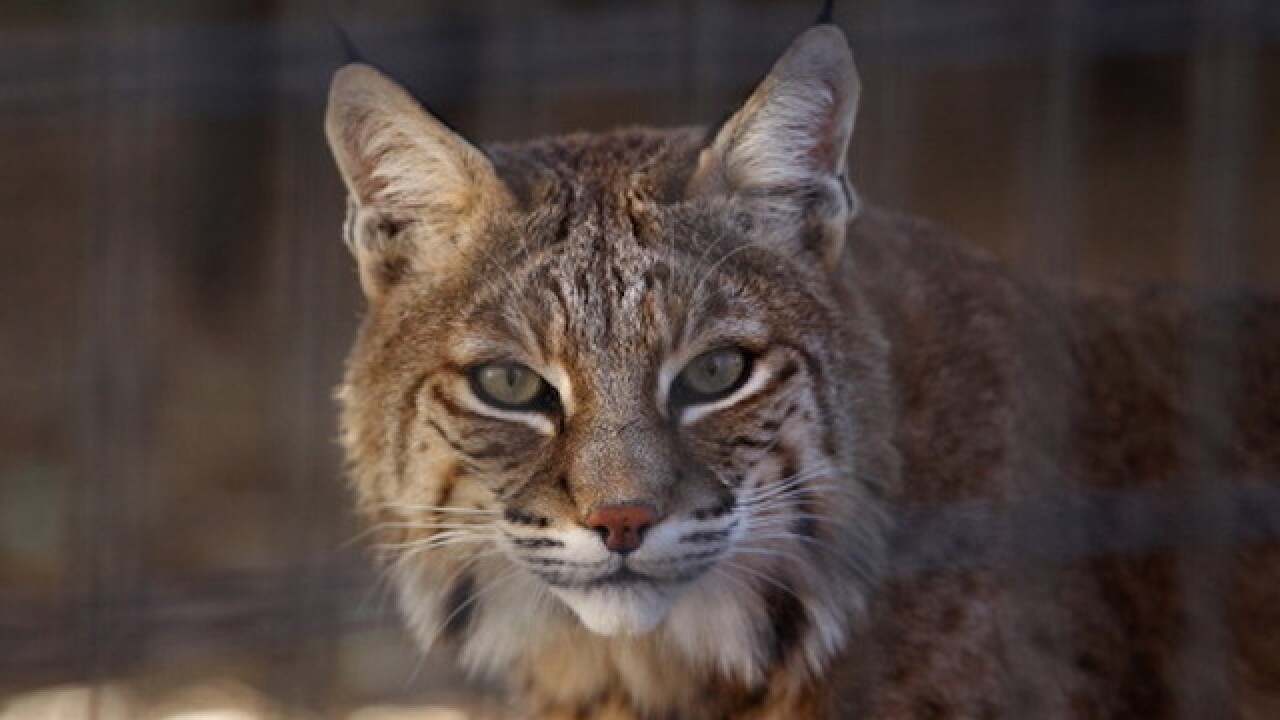 Zookeepers recapture missing bobcat at DC zoo