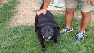 Unwanted old lab 'Lady' adopted by Wrigley Gum heiress after 30 mile walk home