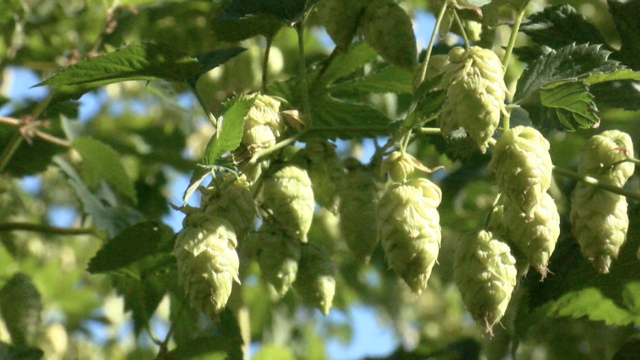 Montana AG Network: Montana hops in peak harvest