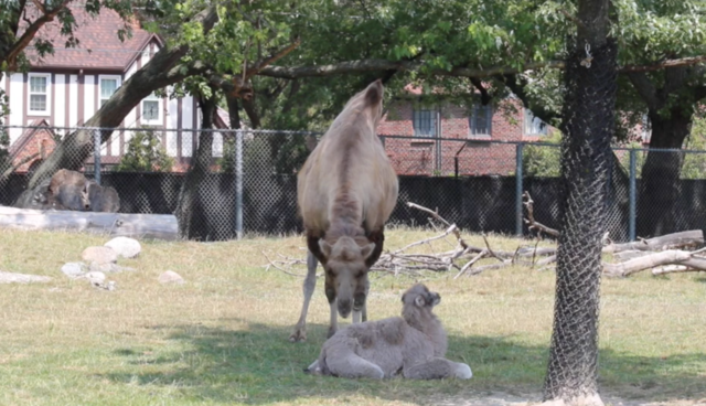 Photo gallery: Meet the new camel calf born at the Detroit Zoo