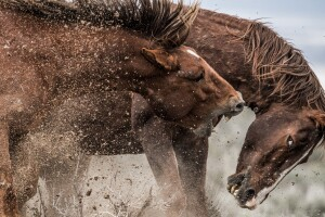 Mustangs fighting in Sand Wash Basin_November_Scott Wilson.jpg