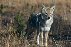 coyote national park service.jpeg