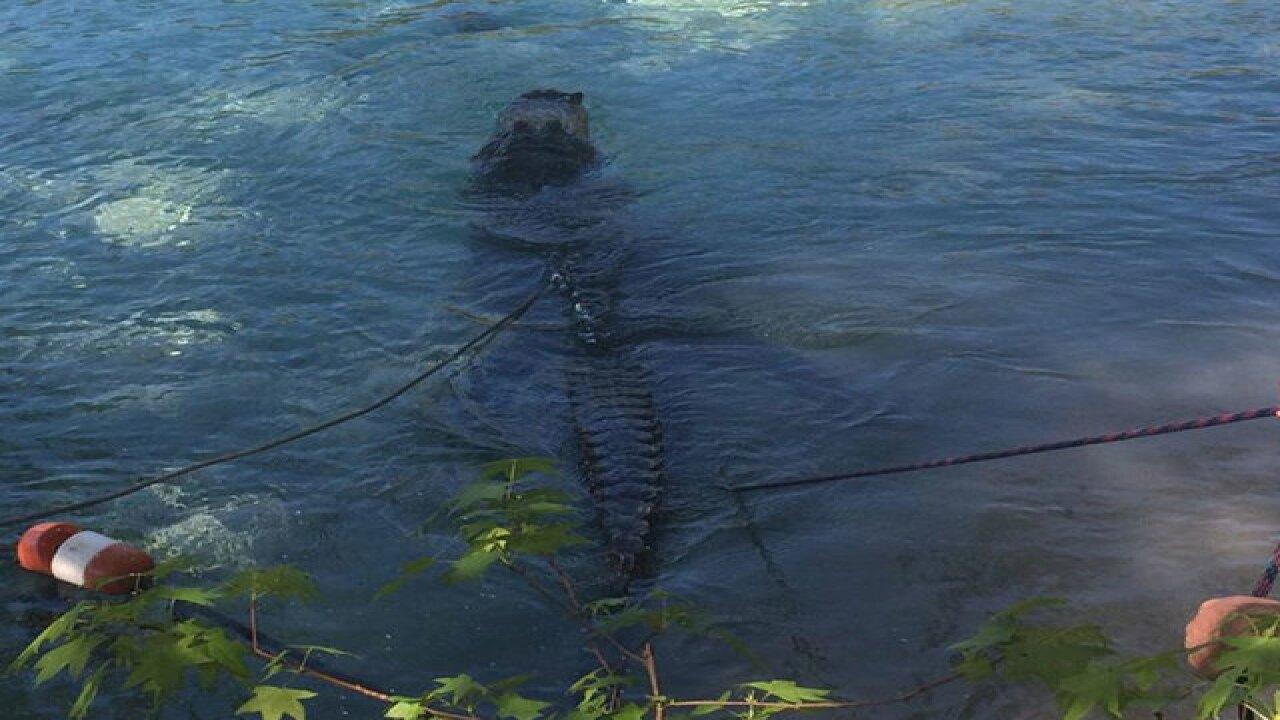 13-foot gator captured at Fla. swimming hole