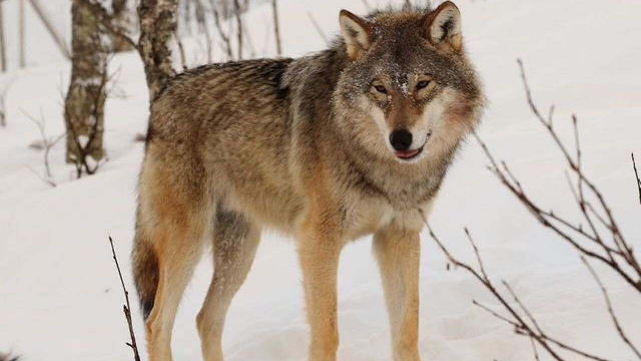 State officials warn dog owners about wolves