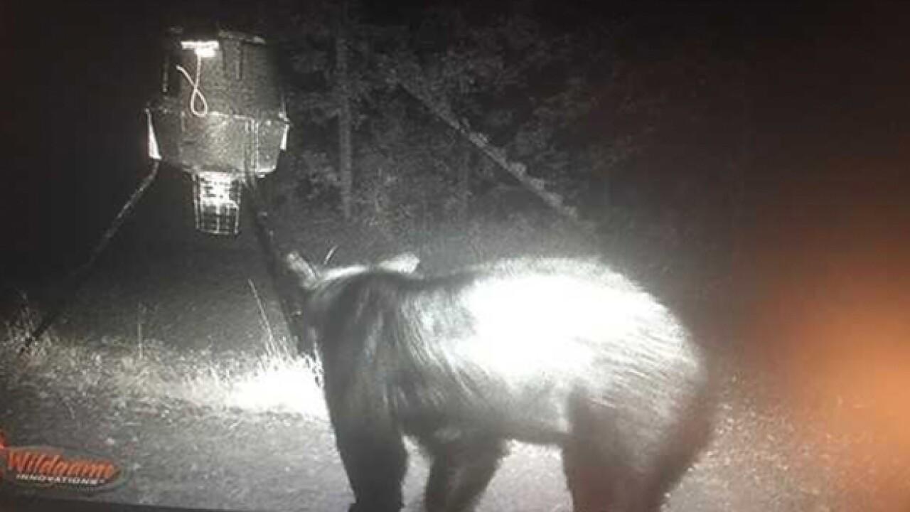 Black Bear Travels Through Mid-State