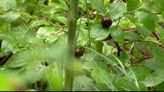USGS developing special huckleberry program in Montana