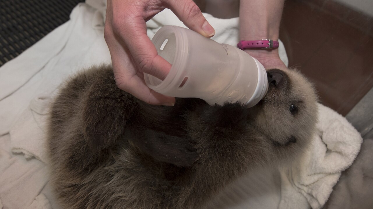Cinder the sea otter pup bottle feeding at SeaWorld San Diego.jpg