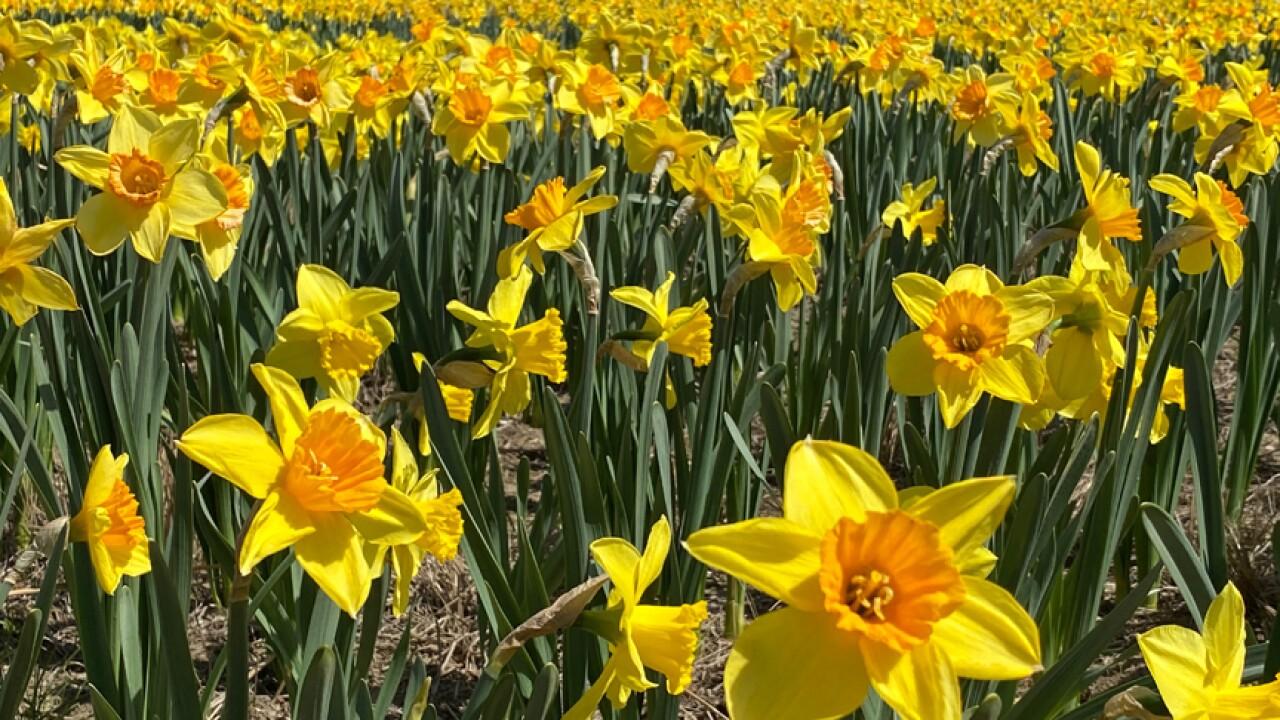 LauritzenGardens-Daffodils-PHOTO1-04-06-21 (1).JPG