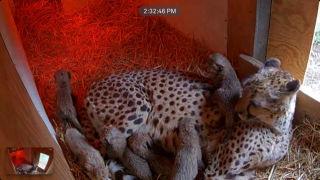 Cheetah Cubs (2), The Wilds.PNG