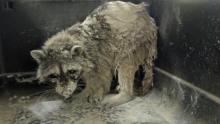 Raccoon stuck in cement