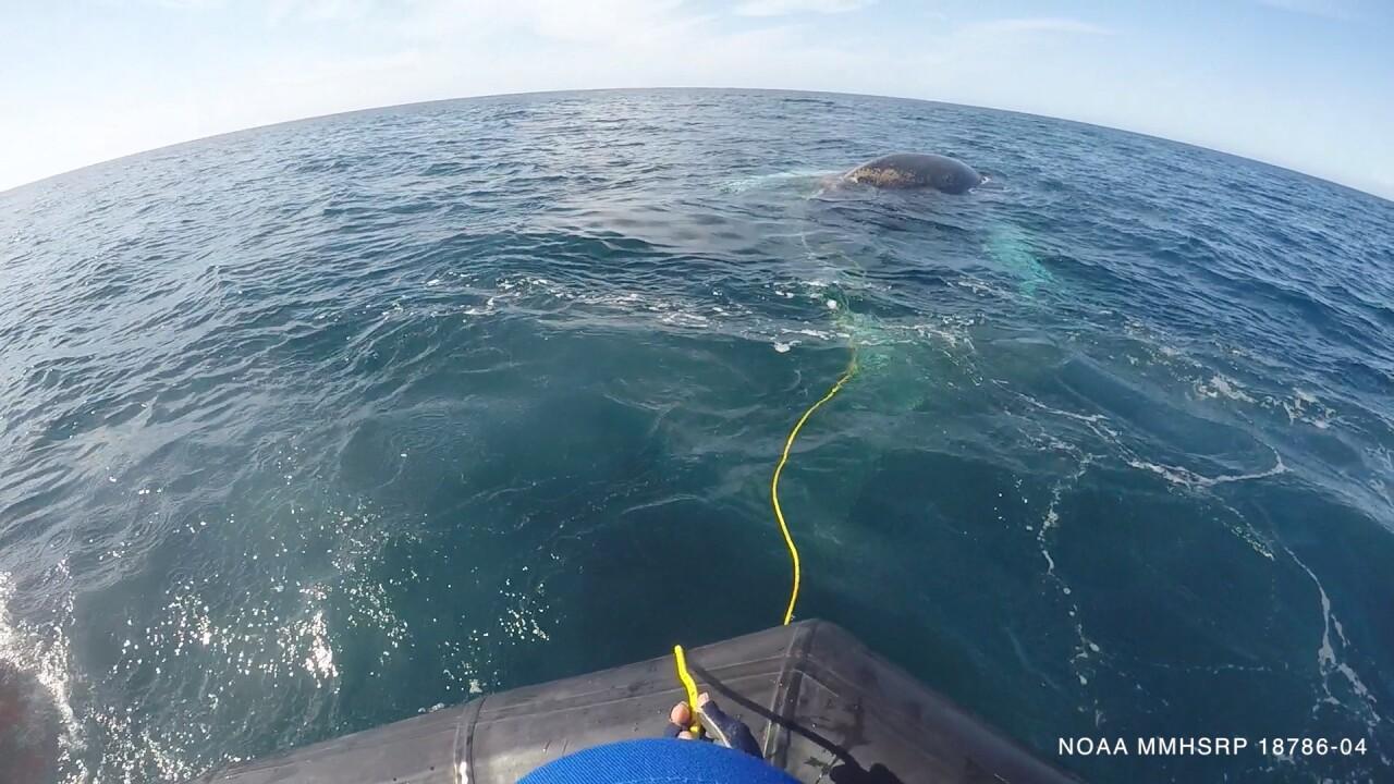 SeaWorld San Diego - disentangles humpback whale 2.jpg