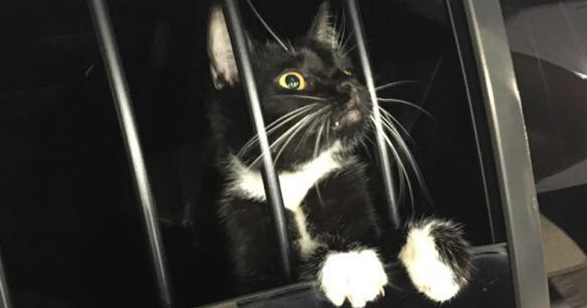 Nevada SPCA hosting free cat adoption event