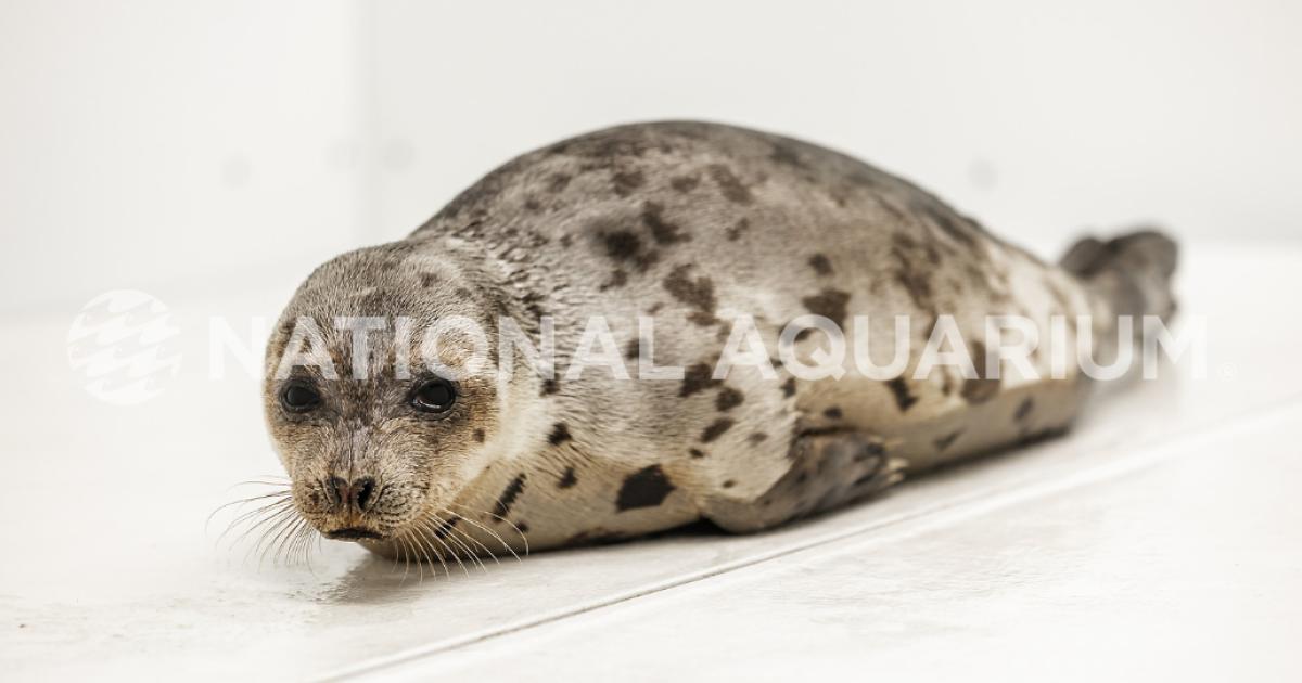 New rescued seal, Amelia Bedelia, at The National Aquarium