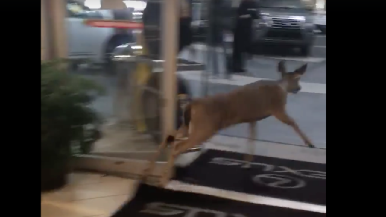 Deer runs wild in car dealership showroom
