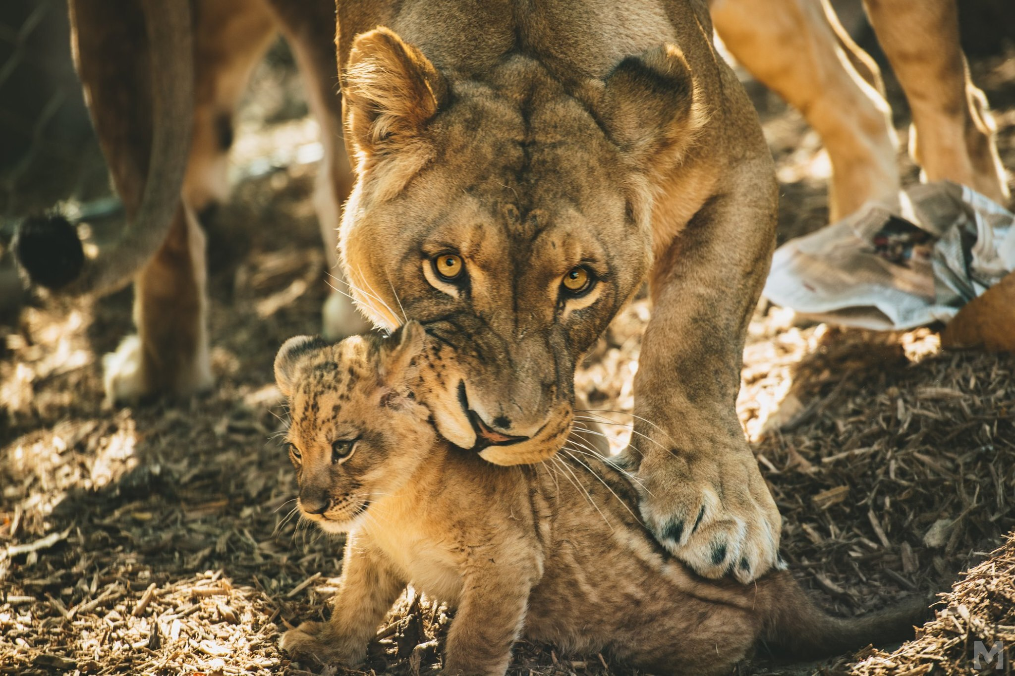 Lion Cub_3_Molly McCormick.jpg